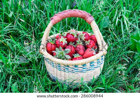 A basket of fresh organic strawberries with green grass background. These strawberries are handpicked from an organic farm in Puyallup, Washington State, US. Panoramic style. - stock photo