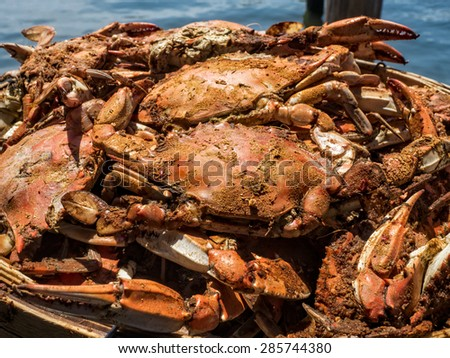 A basket of just steamed Maryland Blue Crabs ready to eat. - stock photo