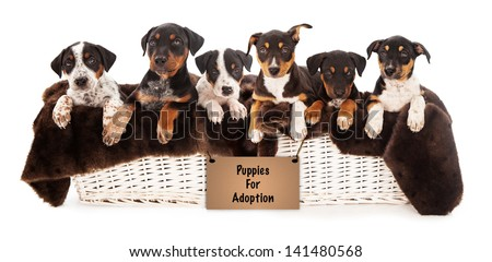 A basket of six Rottweiler, Doberman and Australian Shepherd mixed breed puppies that are eight weeks old with a sign promoting adoption - stock photo