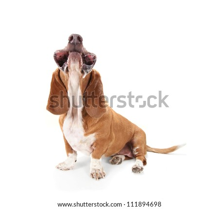 a basset hound isolated on white with her mouth facing up - stock photo
