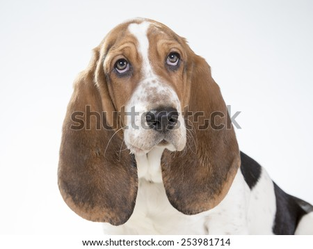 A Basset hound portrait. - stock photo