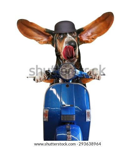 a basset hound riding on a scooter with his ears flapping and his tongue licking his nose isolated on a white background - stock photo
