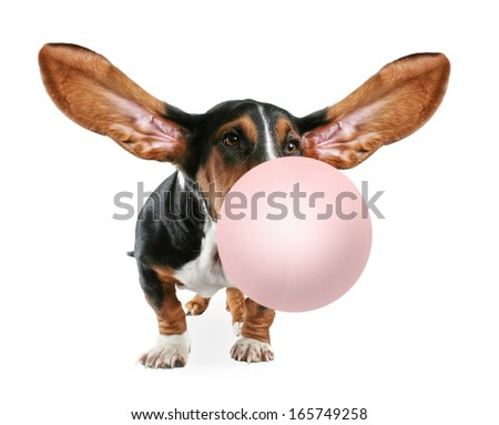 a basset hound sitting down on a white background blowing a bubble with gum - stock photo