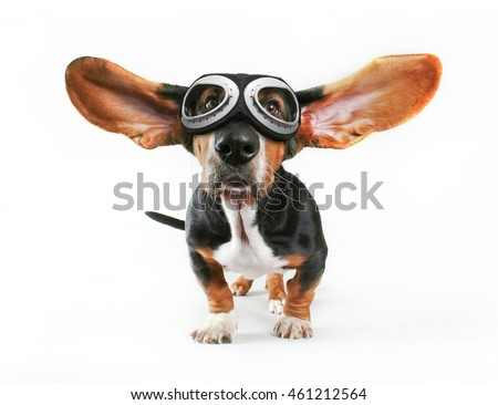 a basset hound with his ears flying away wearing goggles isolated on a white background for easy clipping out and plenty of room for text
