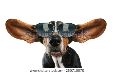 a basset hound with his ears flying away with sunglasses on - stock photo