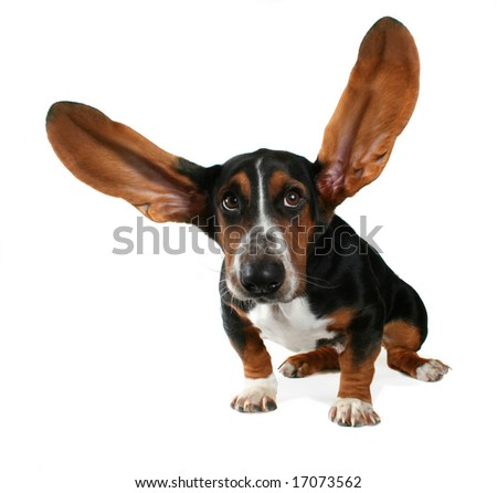 a basset hound with long flying ears