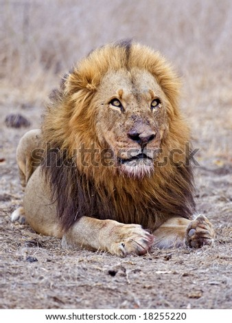 A battered old lion rests after killing a Buffalo - stock photo