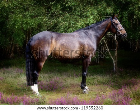 A bay horse stands in wild heather - stock photo