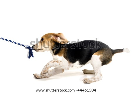 A beagle puppy tugging on a rope - stock photo