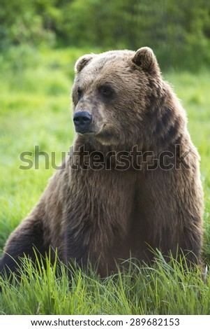A bear sitting in a grass field in Alaska.