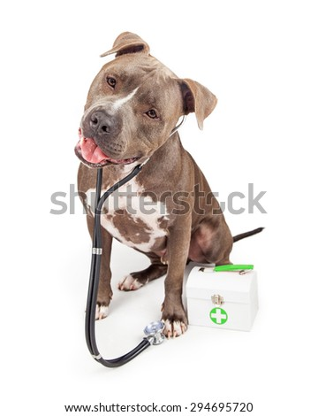 A beautiful adult Pit Bull breed dog dressed as a veterinary doctor wearing a stethoscope with a medical kit - stock photo