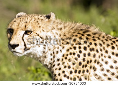 A beautiful african cheetah stalking its prey in the bush - stock photo