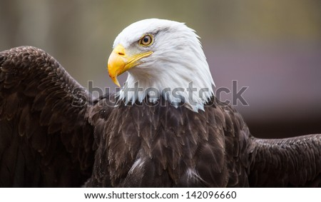 A beautiful American Bald Eagle as it searches for prey. - stock photo