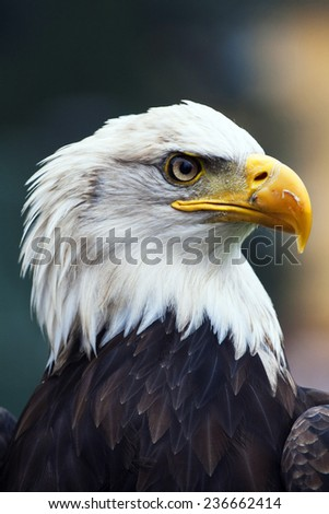 A beautiful american white-headed eagle , soft focus - stock photo