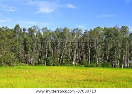 A beautiful and Colorful eucalyptus tree field with green meadow and blue sky in background - stock photo