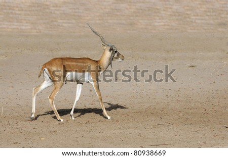 A beautiful antelope with broken horn