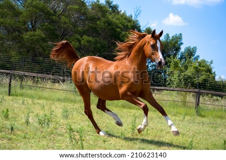 a beautiful arab horse cantering with a natural background behind the mare - stock photo
