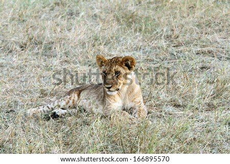 A beautiful baby lion resting - stock photo