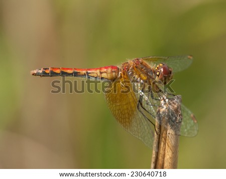 A beautiful Band-winged Meadowhawk perches on a dried stem as it surveys its surroundings in a Wisconsin meadow. - stock photo