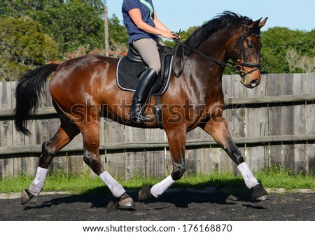 A beautiful big bay purebred Hanoverian horse (gelding) with impressive movement being ridden and trotting in the dressage arena outdoors.