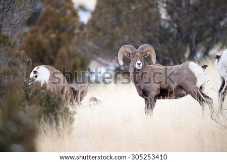 A beautiful big horn sheep ram stops grazing to look at photographer - stock photo