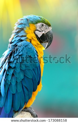 A beautiful bird Blue and Gold Macaw. - stock photo