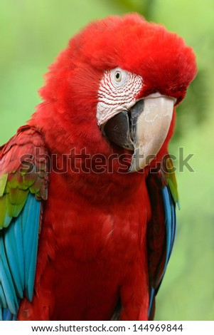 A beautiful bird Greenwinged Macaw.