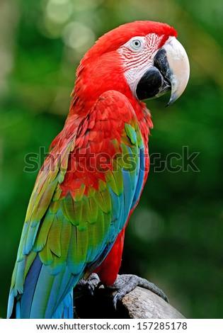 A beautiful bird Greenwinged Macaw. - stock photo