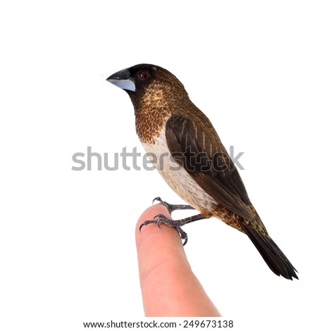 A Beautiful bird, male of White-rumped Munia (Lonchura striata) standing on finger isolated on white background