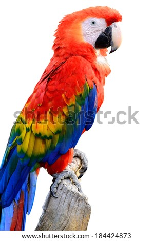 A beautiful bird Scarlet  Macaw isolated on white back ground.