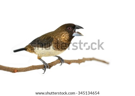 A Beautiful bird, White-rumped Munia (Lonchura striata) perching on a branch isolated on white background