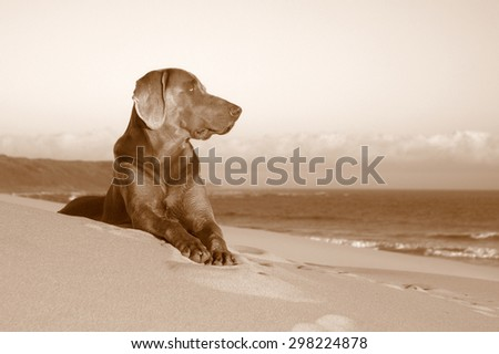 A beautiful black and white image of a male weimeraner posing on the sand with the sun setting in the background. - stock photo