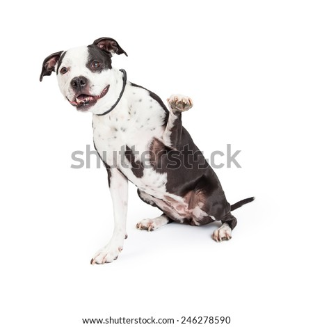 A beautiful black and white Pit Bull breed dog with a happy expression raising his paw up - stock photo