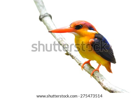 A beautiful Black-backed Kingfisher bird standing on a branch, white background  - stock photo