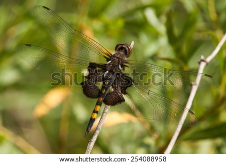 A beautiful Black Saddlebags dragonfly takes a rest from feeding during its southward migration a long the Lake Michigan shoreline. - stock photo