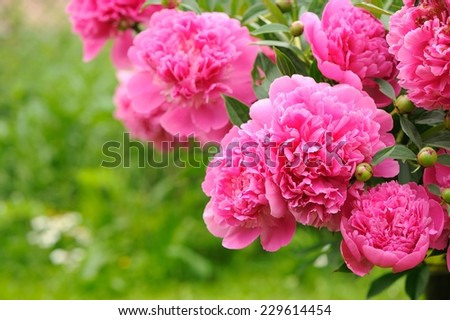 A beautiful blooming peony bush with pink flowers in the garden �¢?? horizontal orientation - stock photo