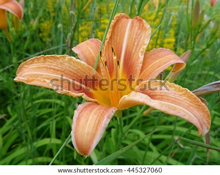 a beautiful blossoming orange lily in a green grass - stock photo