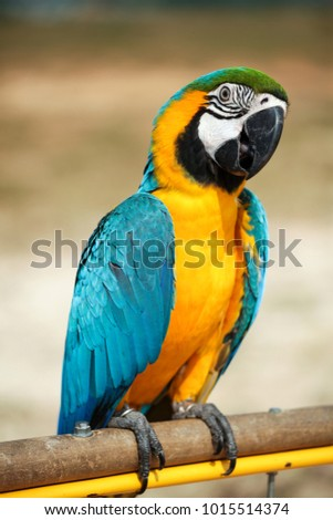 A beautiful Blue and yellow macaw Parrots.