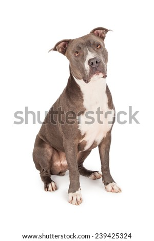 A beautiful blue coated American Staffordshire Terrier dog sitting  - stock photo