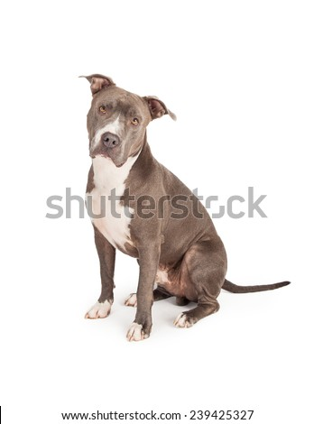 A beautiful blue coated American Staffordshire Terrier dog sitting down and looking straight into the camera