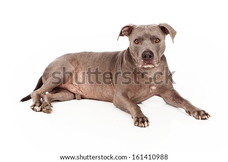 A beautiful blue coated Pit Bull dog laying down and looking at the camera