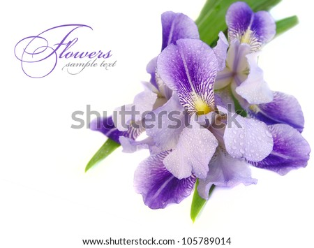a beautiful blue iris flower on a white background - stock photo