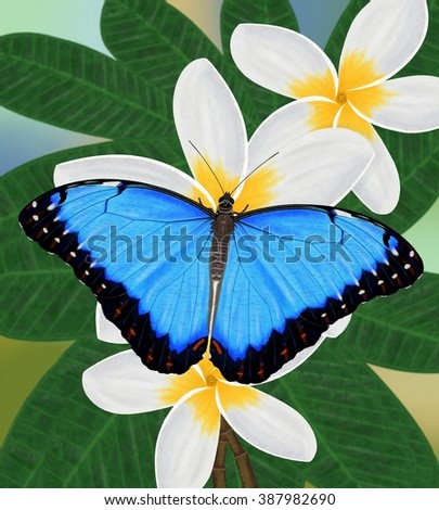 A beautiful Blue Morpho butterfly (Morpho peleides) at tropical plumeria flowers illustrated by Steven Russell Smith. - stock photo