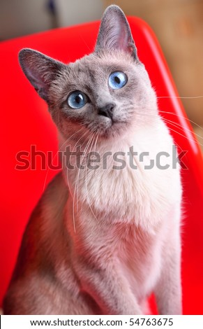 A beautiful blue point siamese seated on a modern style red chair. - stock photo