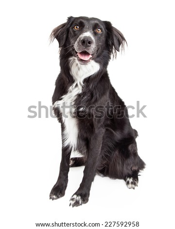 A beautiful Border Collie Mix Breed Dog smiles for the camera while sitting. - stock photo