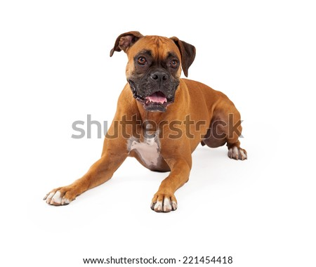 A beautiful boxer dog laying and looking forward - stock photo