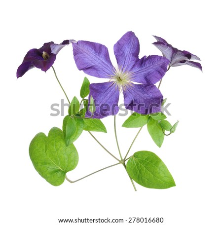 a beautiful branch purple clematis isolated on white  - stock photo