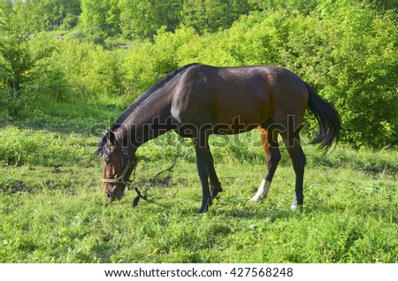 A beautiful brown horse grazing on a green spring pasture.