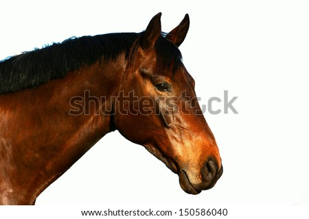A beautiful brown purebred Hanoverian horse profile head portrait staring with alert facial expression. Image isolated on white studio background.