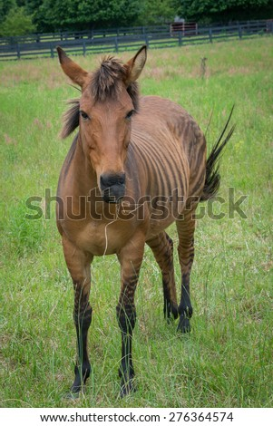 A beautiful brown zorse in a meadow. The hybrid version of a horse & zebra.